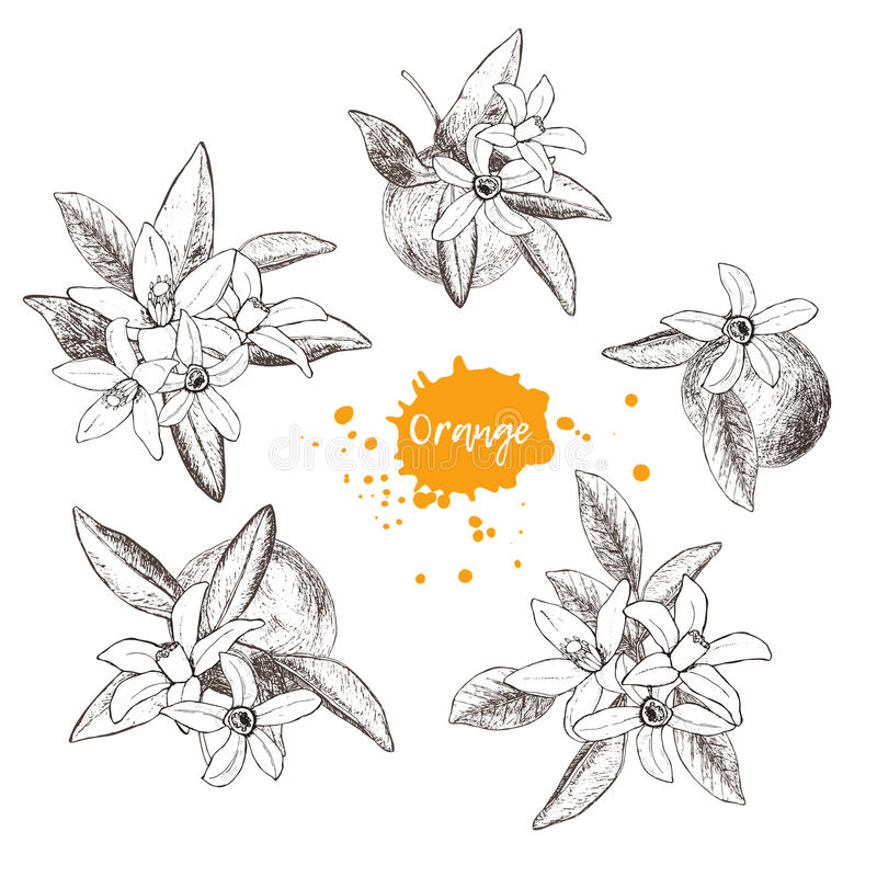 Set of isolated hand drawn oranges and flowers in sketch style. Vector illustration stock illustration