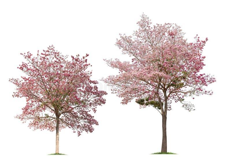 Set of Isolated Tabebuia rosea trees on white background stock photo