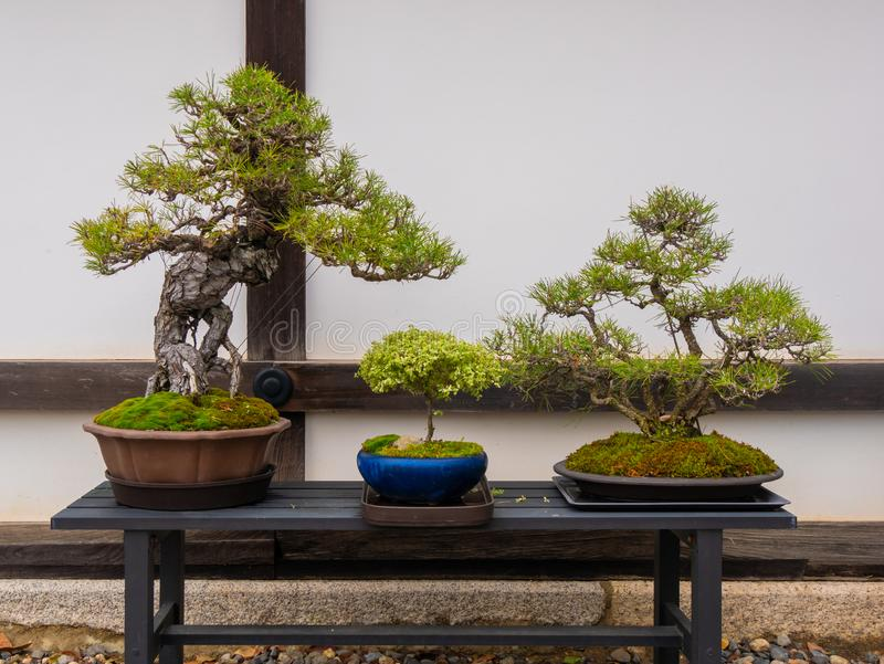 set of Japanese bonsai trees in pot at zen garden. Bonsai is a Japanese art form using trees grown in containers stock image