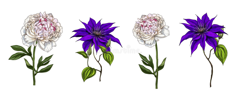 Set jaskrawy ogród kwitnie clematis i peoni odizolowywających na białym tle ręka patroszony wektor Natura kwiecista royalty ilustracja