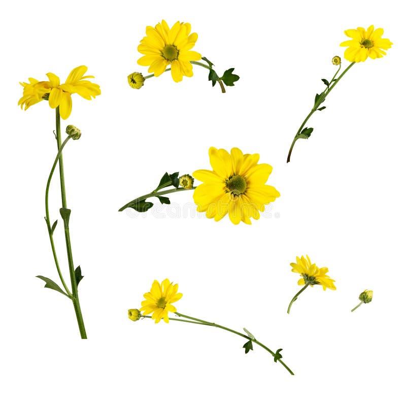 Set kilka jaskrawe żółte chryzantemy odizolowywać na białym tle zdjęcia royalty free