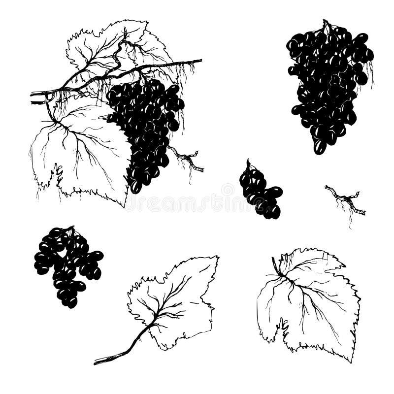 Set konturowi elementy Winogrono gałąź na białym tle Rysujący set winogrona z liśćmi dla produktów menu i pakować royalty ilustracja