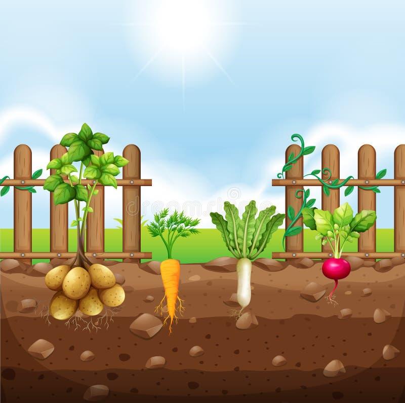Set korzeniowi warzywa royalty ilustracja