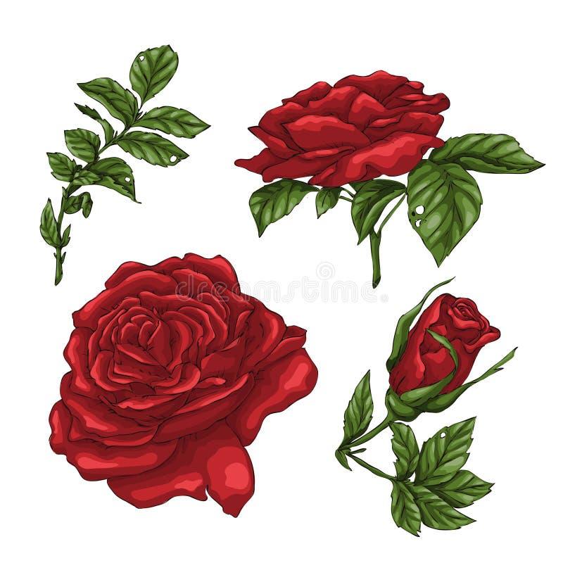 Set kwiat, pączek i liście czerwieni róży, Odizolowywający na Białej Wektorowej ilustraci ilustracji