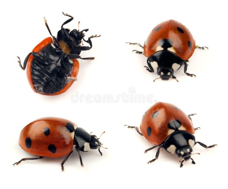 Set of lady bug shots stock image