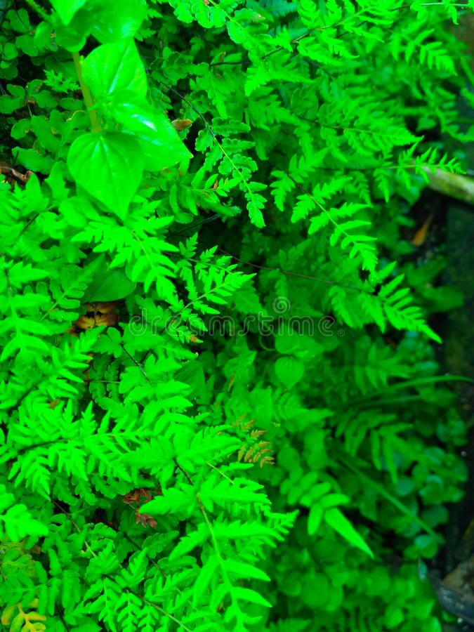 Green ferns. A background of green ferns and other plants stock image