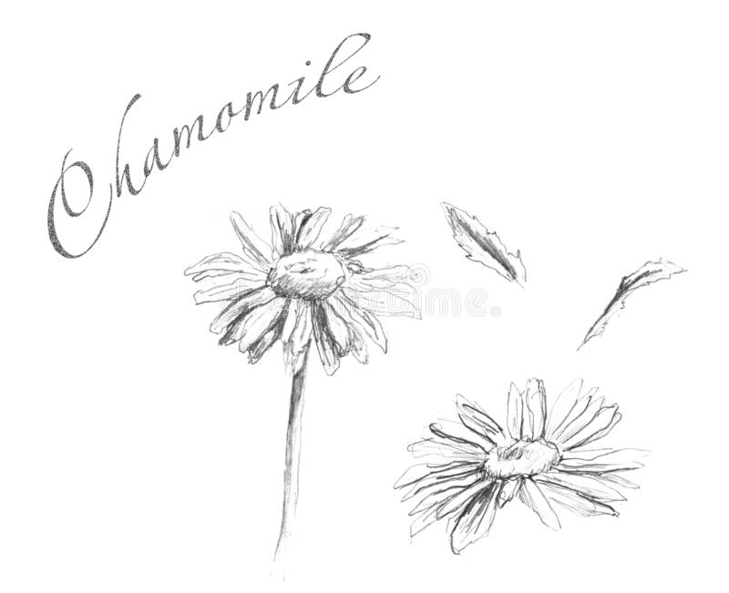 Set of leaves and flowers of chamomile stock photos
