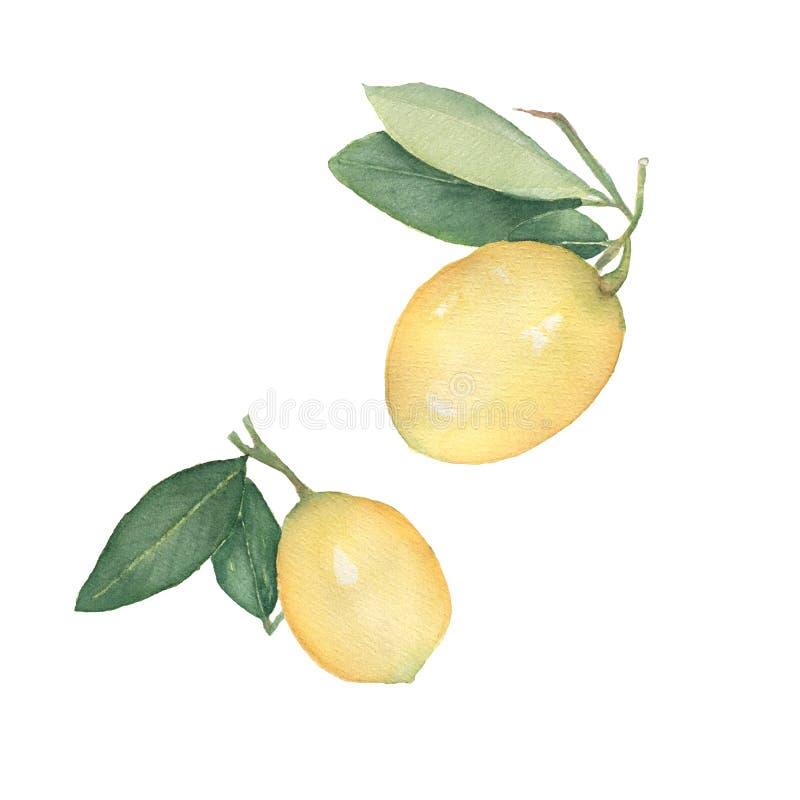 Set of Lemons isolated on white background. Hand drawn watercolor illustration.Fresh lemon with green leaves. Food element for vector illustration