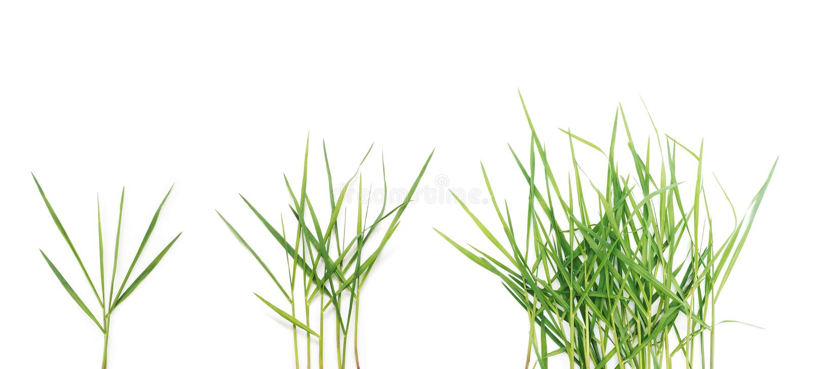 Long blades of green grass over white background. royalty free stock photo