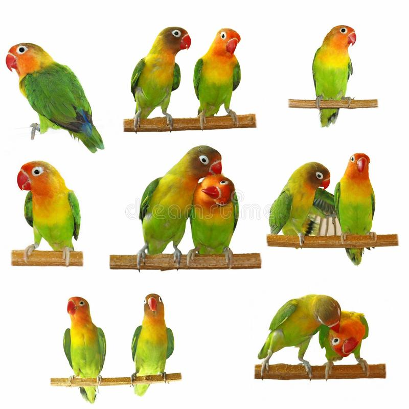 Download Set Lovebird Isolated On White Stock Photo - Image: 15711352