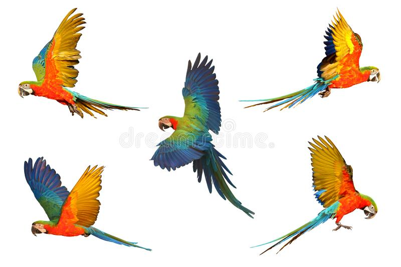 Set of macaw parrot royalty free stock photo