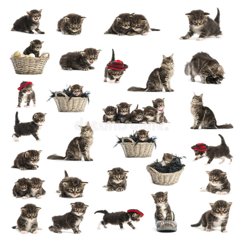 Set of Maine coon kitten. Isolated on white stock images