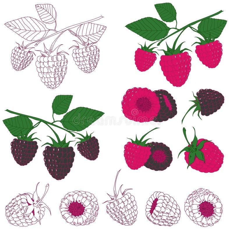 Set malinka i czernica ilustracja wektor