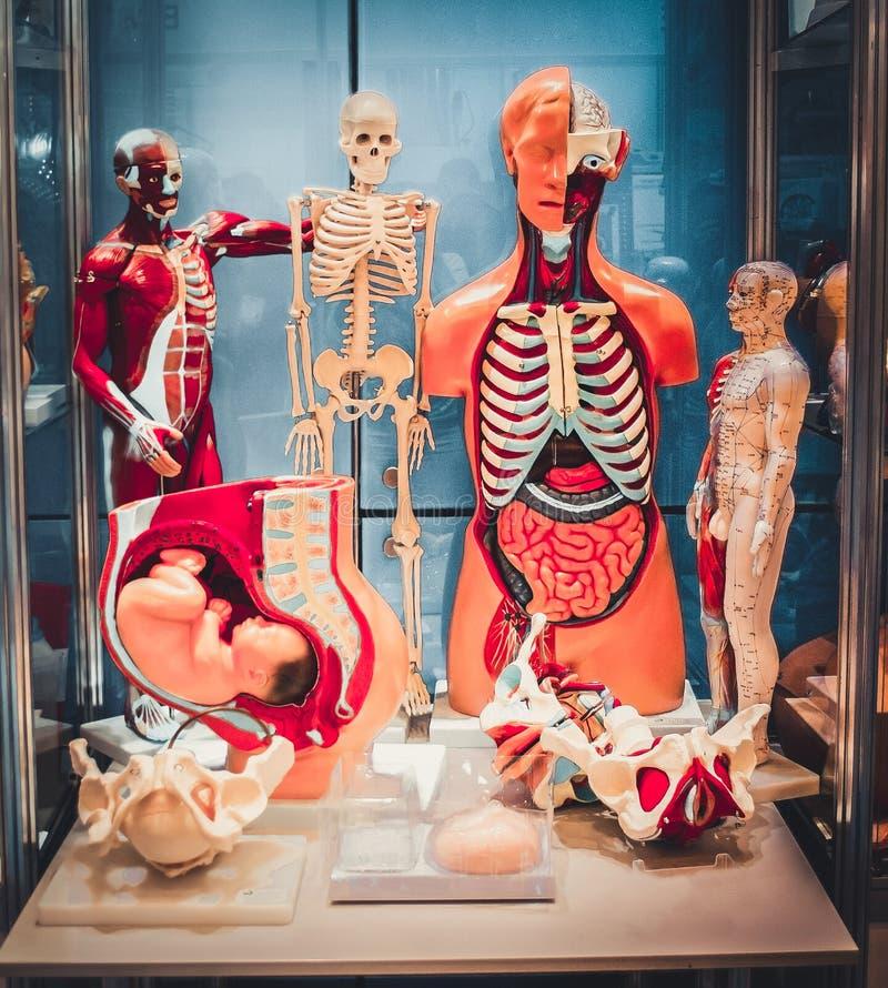 Set of medical training dummie of human internal organs. Human anatomy structure royalty free stock image