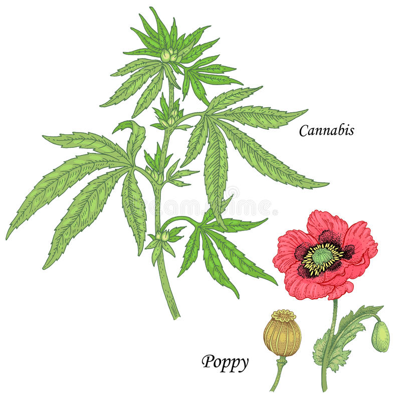 A set of medicinal plants - Cannabis, poppy. vector illustration