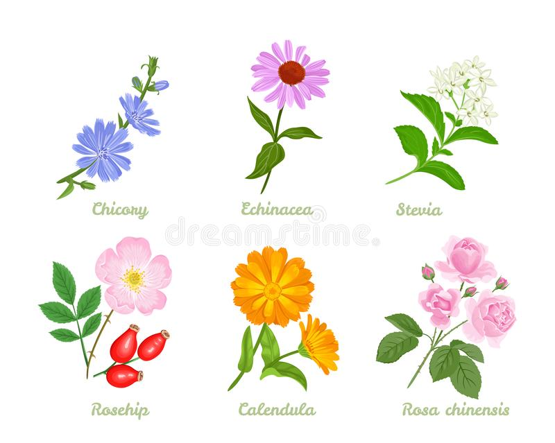 Set of medicinal plants, herbs and flowers vector illustration