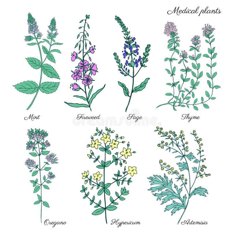 Set medyczne rośliny Wybija monety, Chamerion, fireweed, wierzbowy ziele, mędrzec, macierzanka, Oregano, Hypericum, Artemisia abs ilustracja wektor