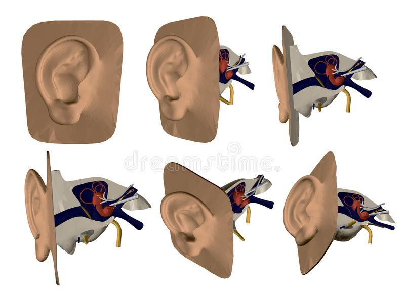 Set with model of human ear. Internal organs of the ear. Structure of human ear. Front, side, isometric view. 3D. Vector royalty free illustration