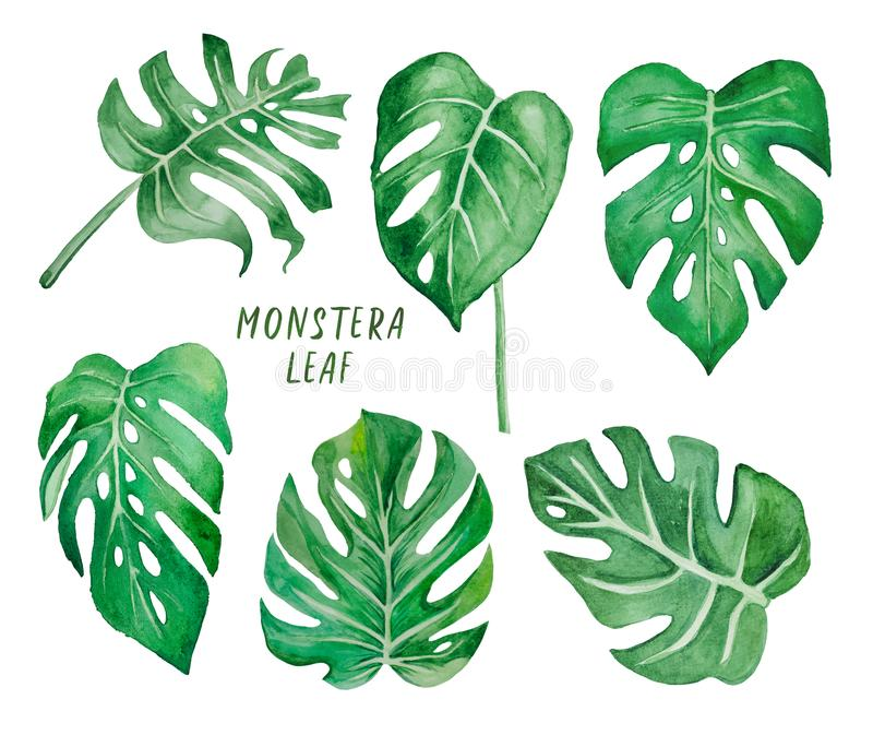 Set of Monstera leaves on a white background stock illustration
