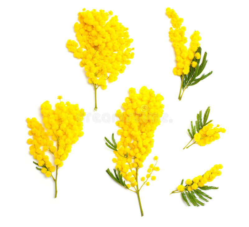 A set o separated mimosa branches on white. Mimosa branches of different size and shape isolated on white background, top view royalty free stock image