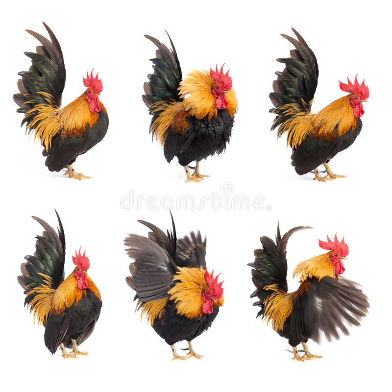 Set odizolowywający kurczaka bantam obrazy royalty free