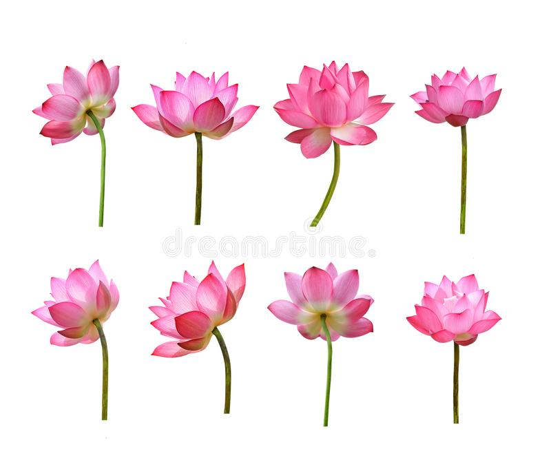 Set odizolowywający na białym tle Lotosowy kwiat obrazy stock