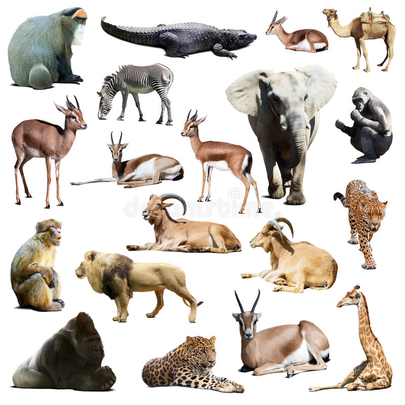 Free Set Of African Animals. Isolated On White Royalty Free Stock Photography - 40736737