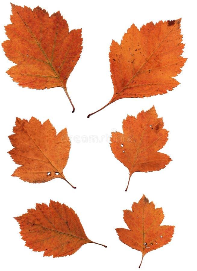 Free Set Of Autumn Leaves Isolated On White Background Stock Photography - 60542032
