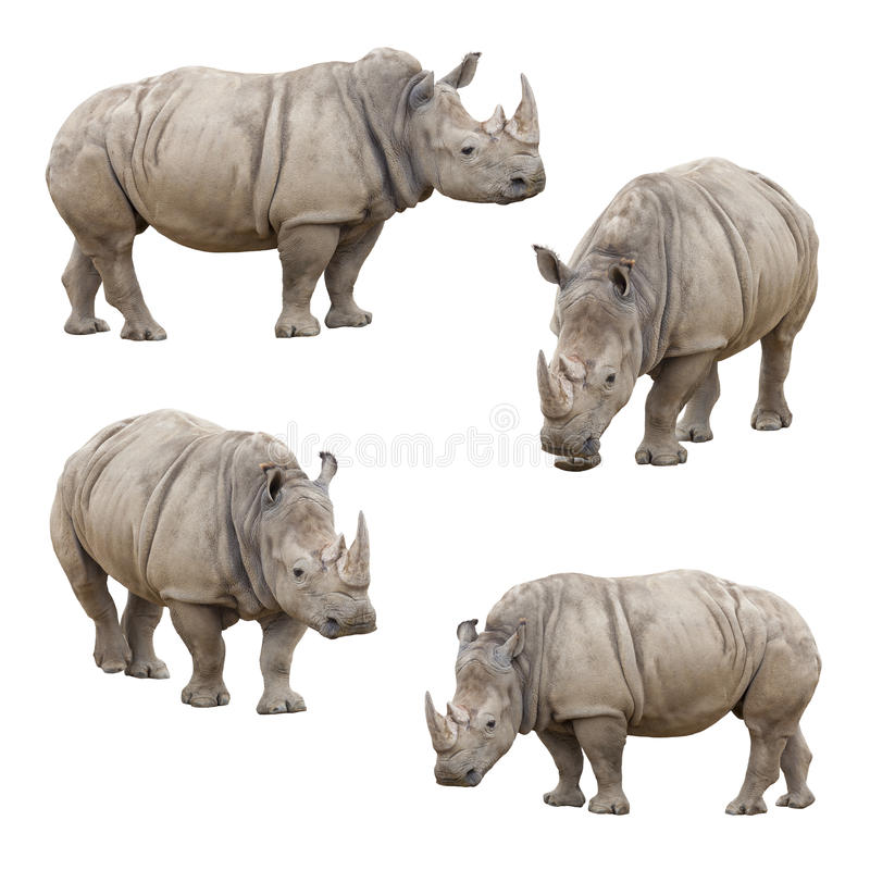 Free Set Of Rhinoceros Isolated On A White Background Stock Photo - 29941050