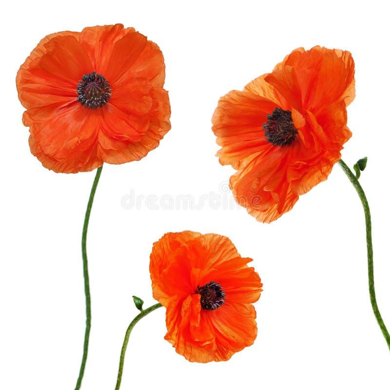Free Set Of Single Poppy Flowers Isolated On White Background. Stock Photo - 36033880