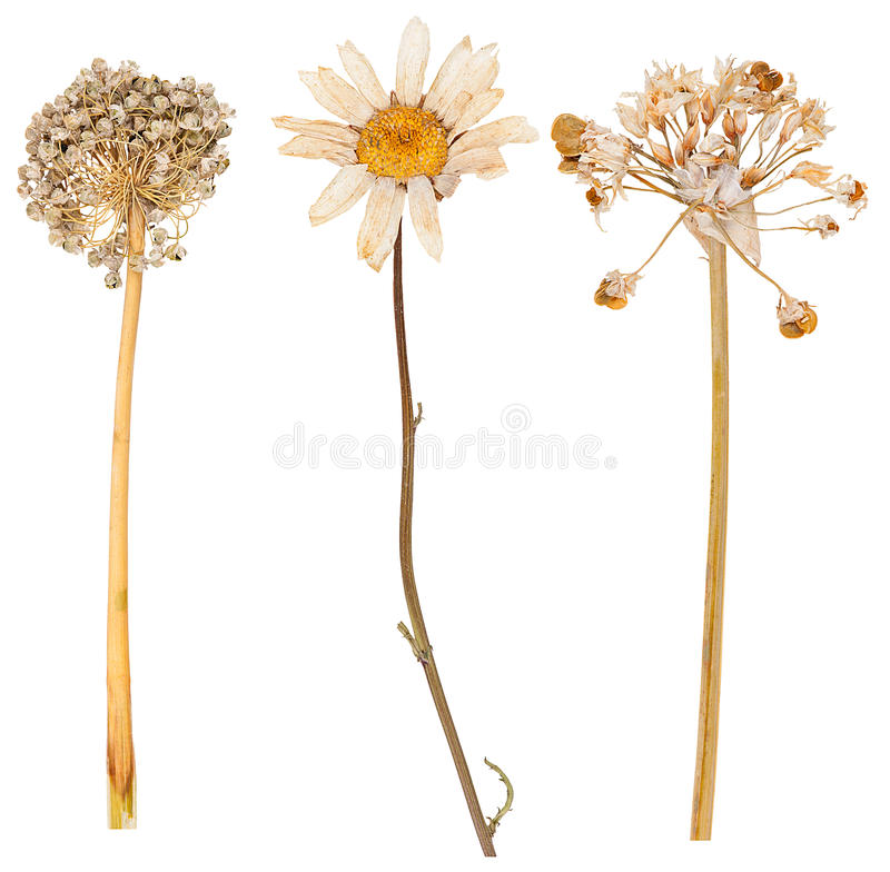 Free Set Of Wild Dry Pressed Flowers And Leaves Royalty Free Stock Photography - 67664297