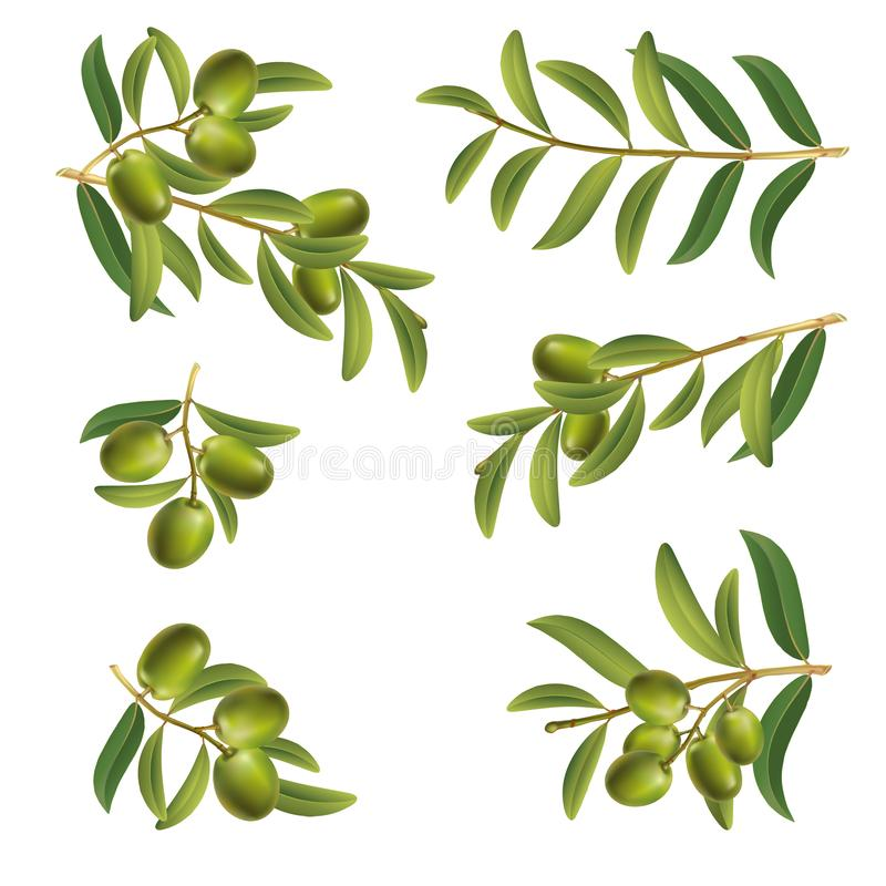 Set of olive twigs green on a white background. Berries and leaves. Isolate vector illustration