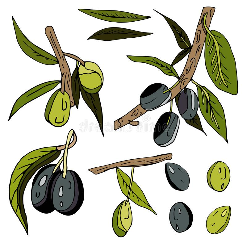 Set of olives, twigs, leaves and fruits on an isolated white background. black and green olives. Set of olives, twigs, leaves and fruits on an isolated white stock illustration