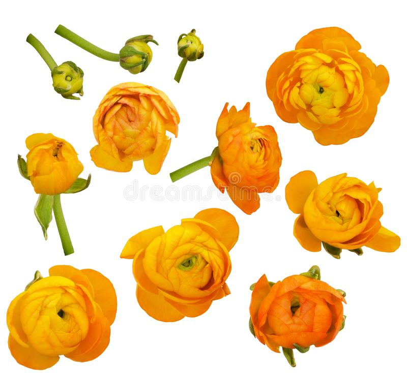 Set of orange ranunculus flowers and buds. Isolated on white royalty free stock image
