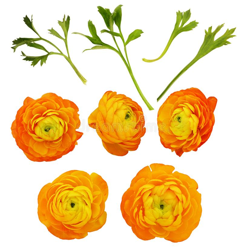 Set of orange ranunculus flowers and leaves. Isolated on white royalty free stock photos