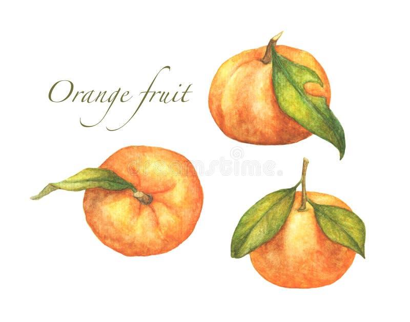 Set of oranges fruit isolated on white background. watercolor illustration royalty free illustration