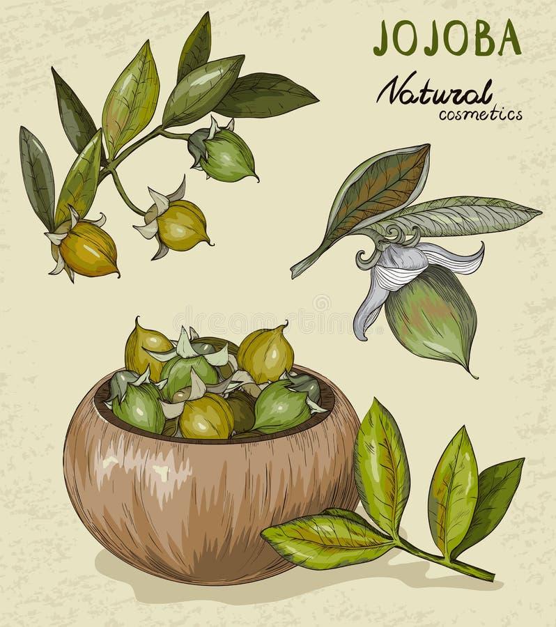 Set of organic Jojoba fruit vector illustration