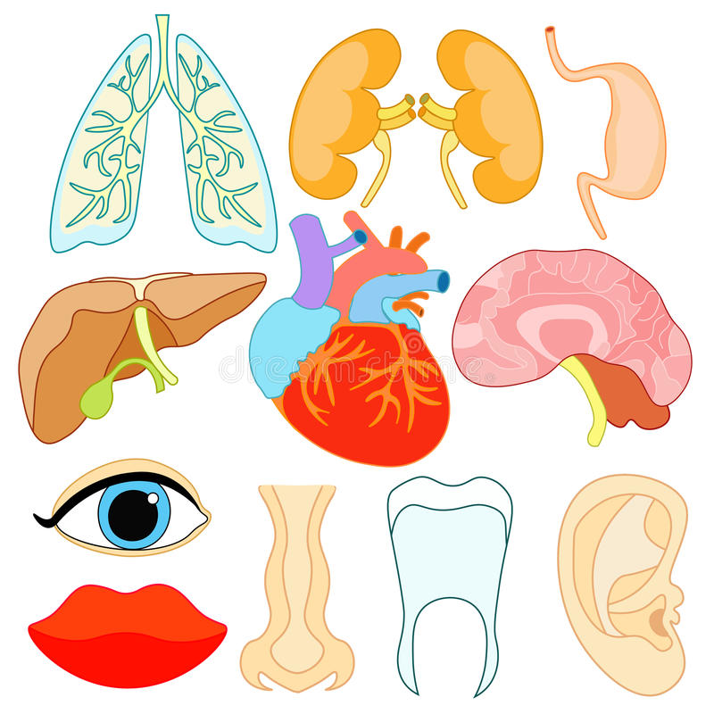 set of organs within the human body and face. vector illustration royalty free illustration