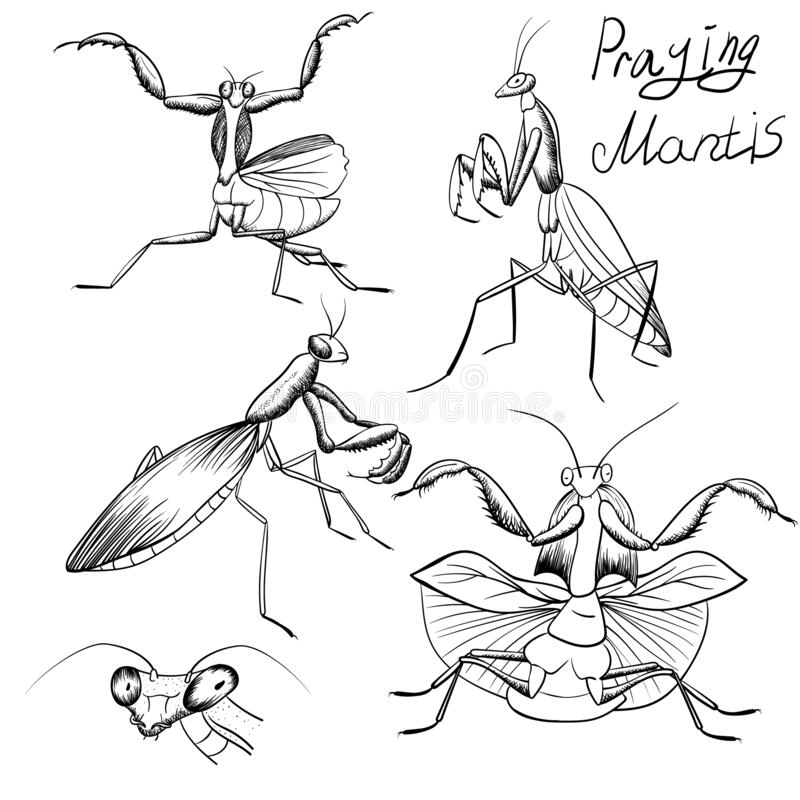 Set Of Outline Mantis Insect Sketches On White Stock Vector