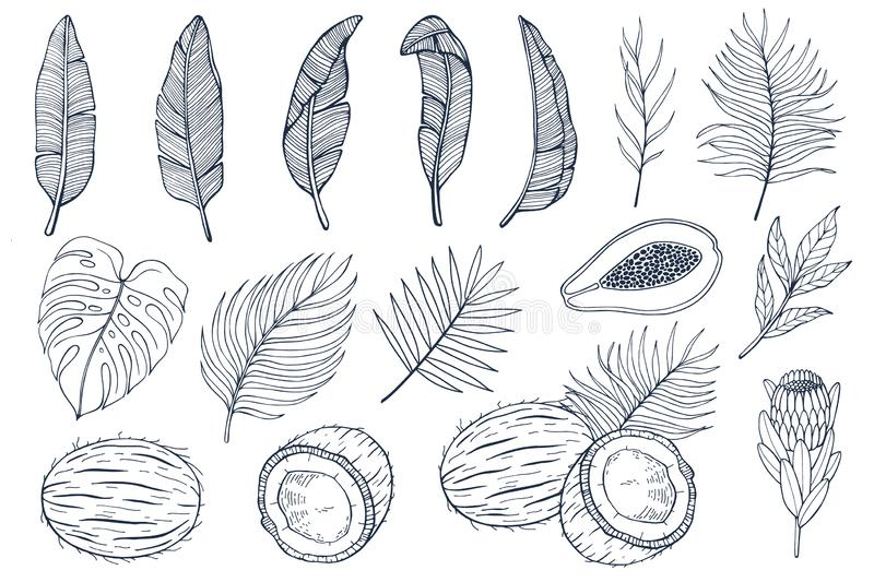 Set with palm leaves and exotic fruits papayas, coconuts and exotic flovers, banana leaves. Hand drawn vector royalty free illustration