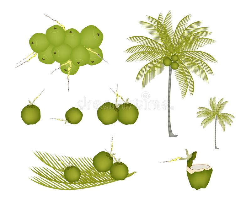 Download Set Of Palm Tree With Green Coconuts Stock Vector - Image: 30379135