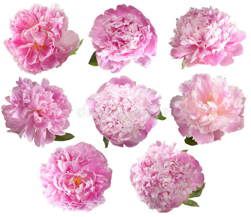 Set peonies isolated on white background. stock image