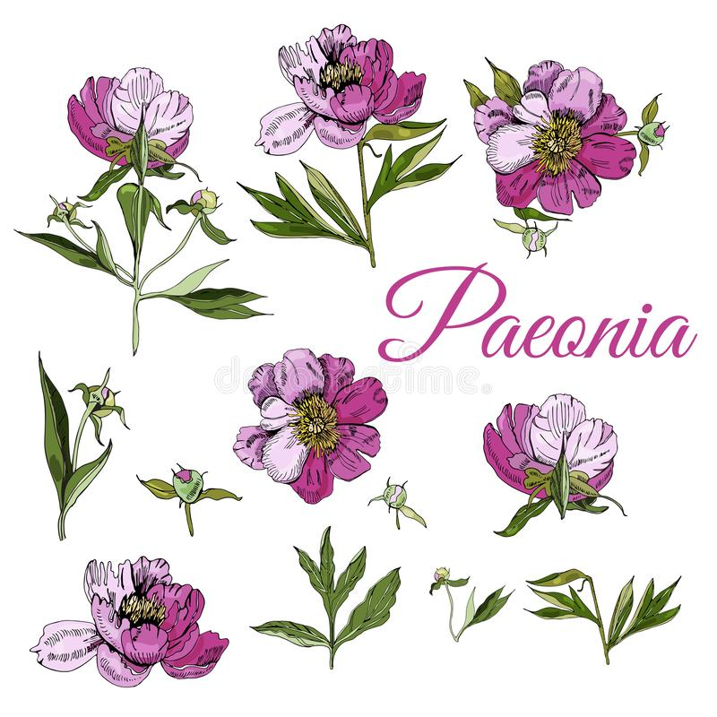 Set of peony flowers. Hand drawn ink sketch of  peony. Colored objects isolated on white background. Vector illustration royalty free illustration