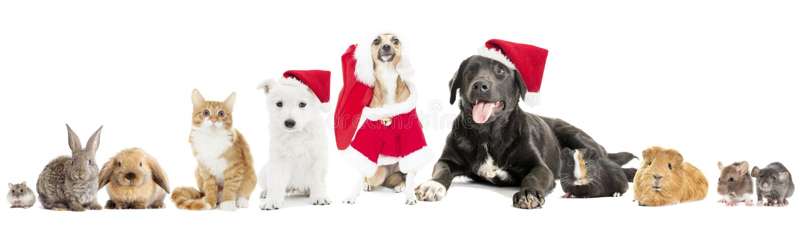 Set pet in a Christmas hat. On a white background stock photo