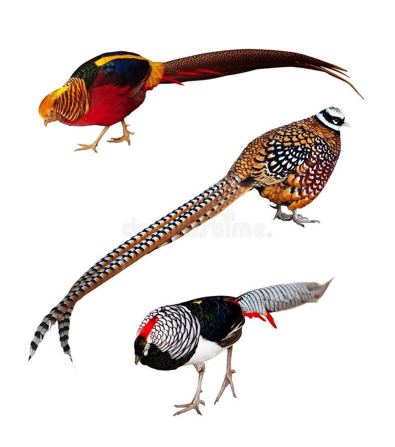 Download Set Of Phasianidae Birds. Isolated Over White Stock Image - Image: 24512875