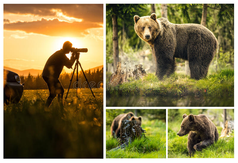 Set photos of Big brown bear in nature or in forest, wildlife, meeting with bear, animal in nature.  royalty free stock photos