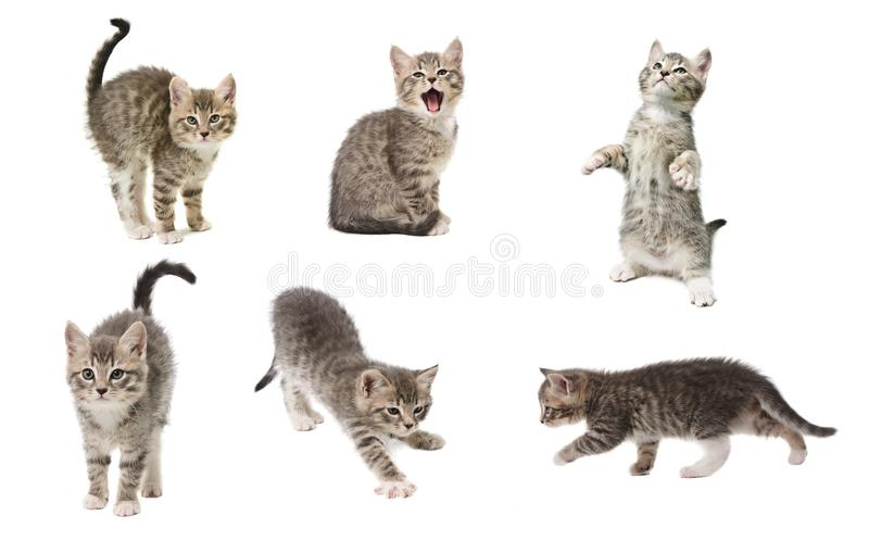 Set of photos of a cute little grey color playful kitten isolate royalty free stock photography