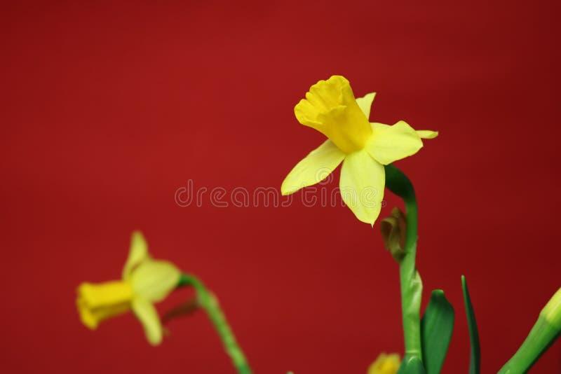 Set piękni żółci daffodils na czerwonym tle obraz royalty free