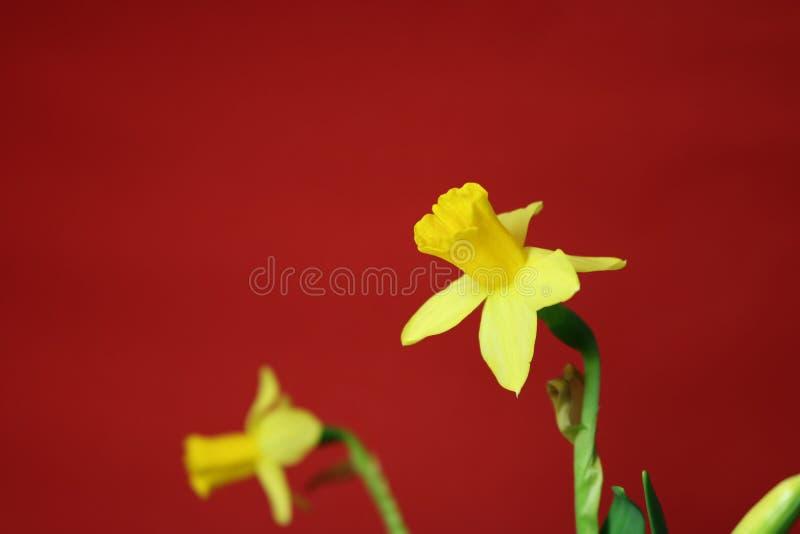 Set piękni żółci daffodils na czerwonym tle zdjęcia royalty free