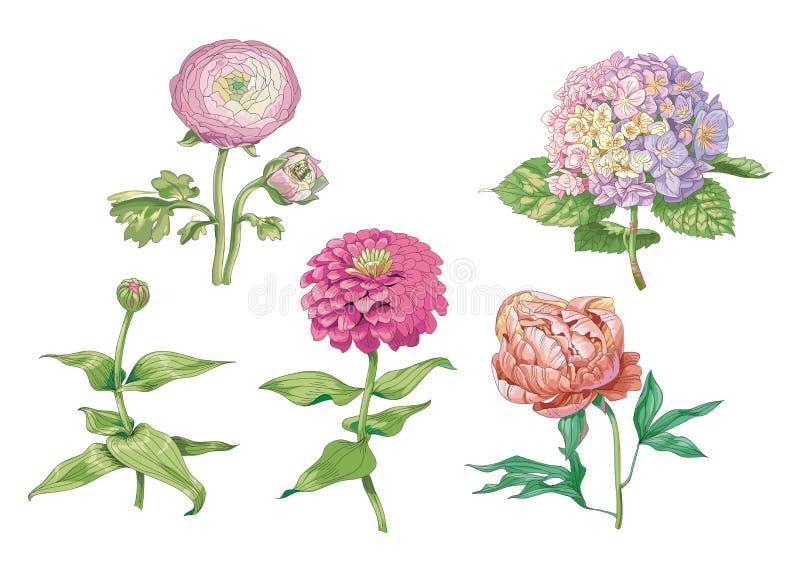 Set piękni delikatni kwiaty odizolowywający na białym tle Hortensja, peonia i cynie, Ampuła pączkuje i kwiatostan na ste ilustracja wektor